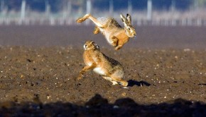 march hares